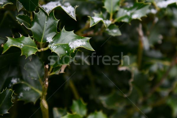 Snowflakes on dark green holly leaves Stock photo © sarahdoow