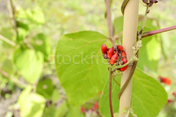 красный Runner боб цветок зеленые листья винограда Сток-фото © sarahdoow