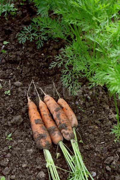 Cenouras solo mentir verde Foto stock © sarahdoow