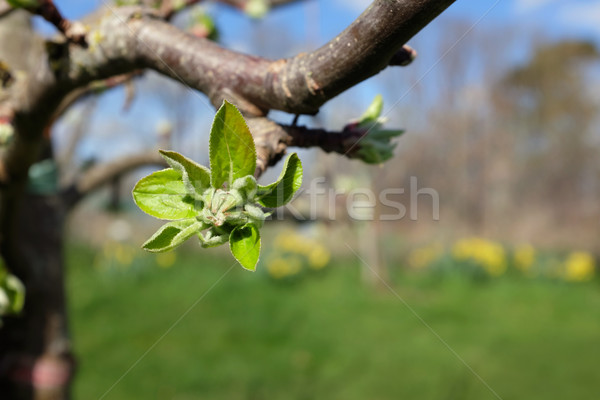 Large leafy bud opening on apple tree in spring Stock photo © sarahdoow