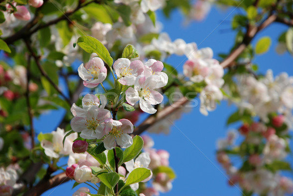 Blossom on the branch of a crab apple tree  Stock photo © sarahdoow