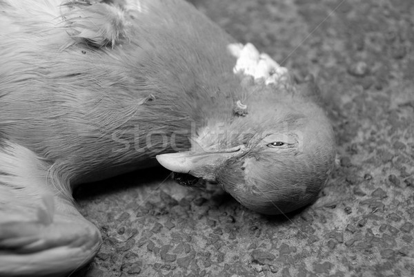 Closeup of dead wood pigeon on the road Stock photo © sarahdoow