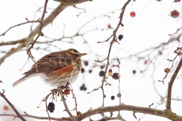 Redwing fluffs out its plumage to trap warm air Stock photo © sarahdoow