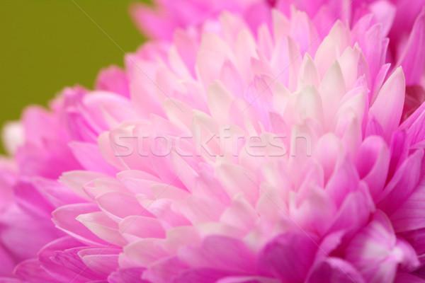 Makró rózsaszín krizantém virág zöld Stock fotó © sarahdoow