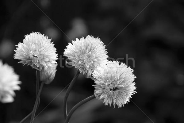 Tre impianto in bianco e nero natura erbe Foto d'archivio © sarahdoow