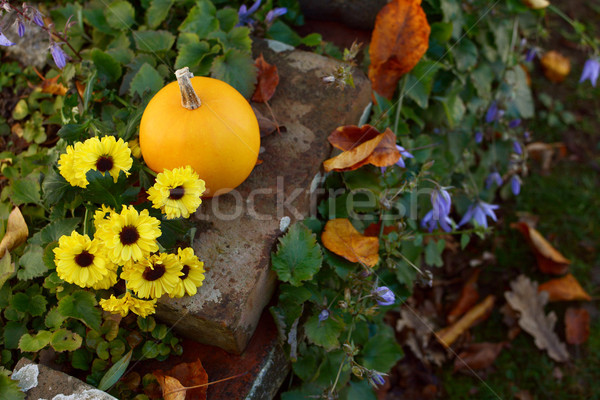Chrysanthemum flowers with an ornamental gourd in a country gard Stock photo © sarahdoow