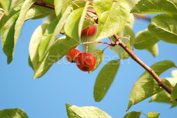 Crab apples hanging among leaves on the tree Stock photo © sarahdoow