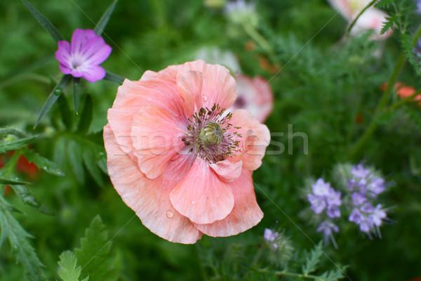 Blady różowy dziedzinie maku krople deszcz Zdjęcia stock © sarahdoow