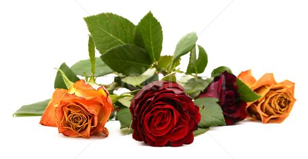 Primer plano oscuro Rose Red flor tres otro Foto stock © sarahdoow