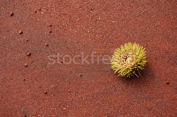 Stock photo: Sea urchin on a red sand beach
