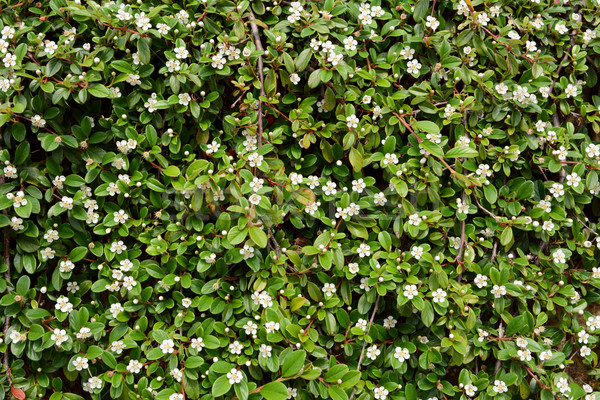 Stock photo: Trailing cotoneaster shrub with white flowers