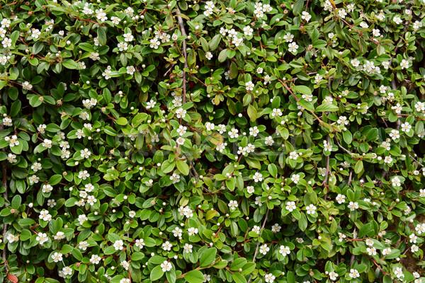 Krzew białe kwiaty mały zielone liście kwiat Zdjęcia stock © sarahdoow