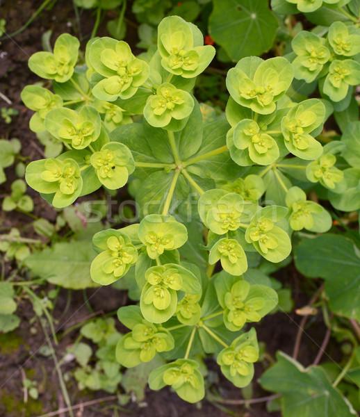 Euphorbia helioscopia - a spurge plant Stock photo © sarahdoow
