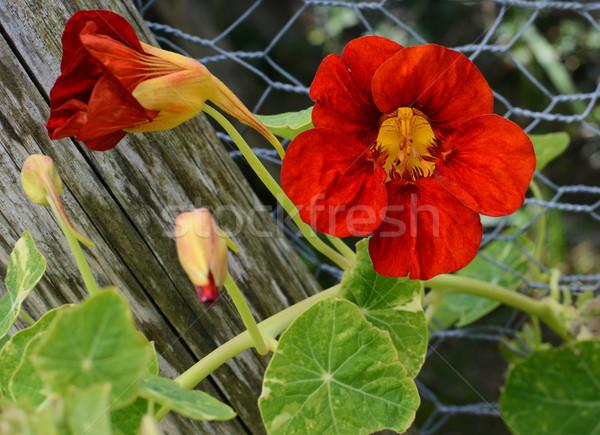 Profundo vermelho flor crescente folhas verdes videira Foto stock © sarahdoow
