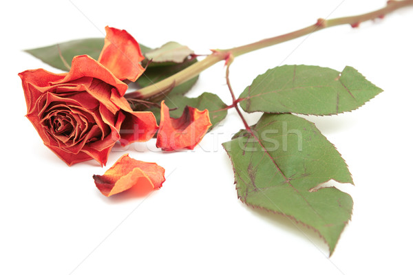 Dying pink rose bloom with dropped petals Stock photo © sarahdoow