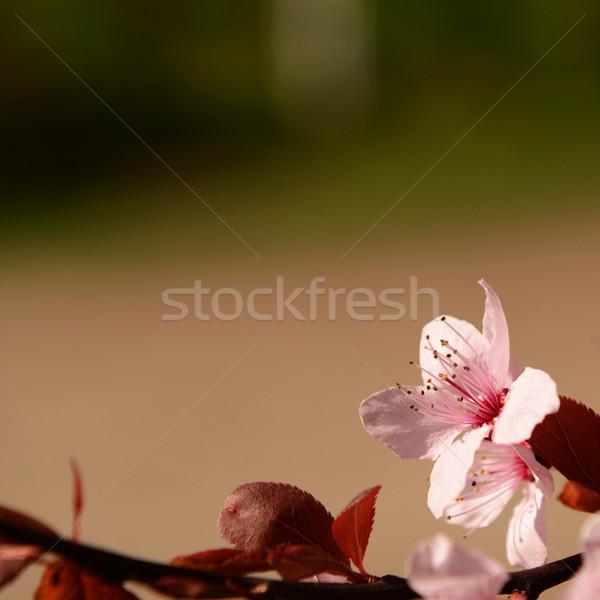Foto stock: Rosa · flor · flor · rojo · follaje · borroso