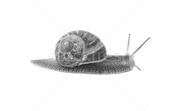 Profile of garden snail with boldly striped shell Stock photo © sarahdoow