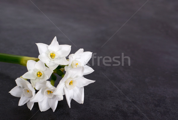 Stem of  white narcissus with six flowers Stock photo © sarahdoow