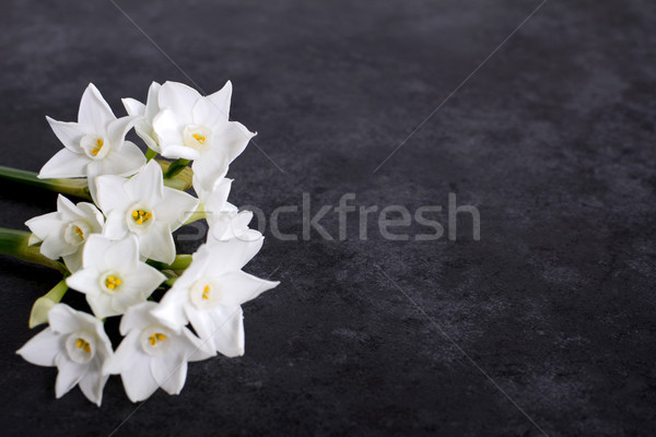 Fragrant white narcissus flowers on dark grey background Stock photo © sarahdoow