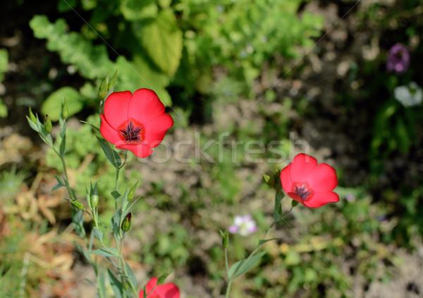 Scarlet flax flowers Stock photo © sarahdoow
