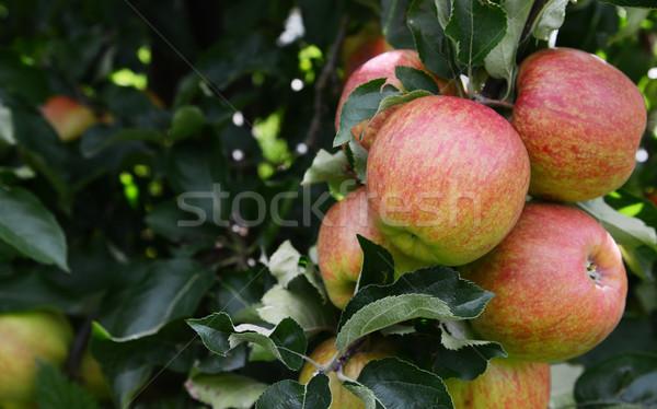 Stock fotó: Csoport · érett · almák · fa · kész · aratás