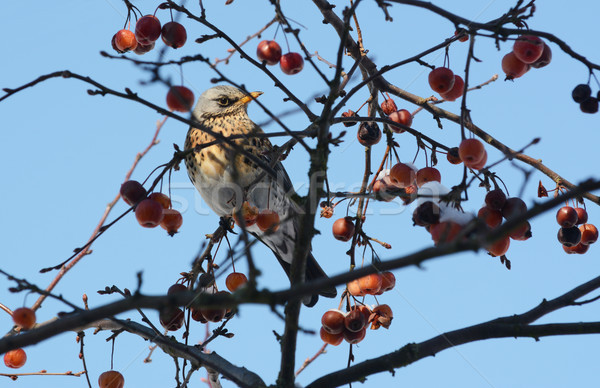 Fieldfare in crabapple tree, with snow-covered fruit Stock photo © sarahdoow