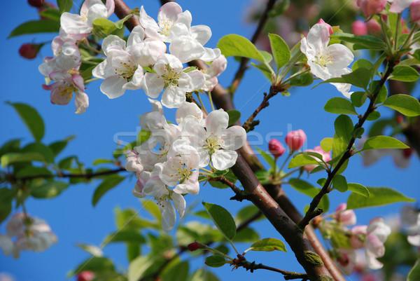 Foto stock: Cangrejo · manzana · flor · rama · cielo · azul · cielo