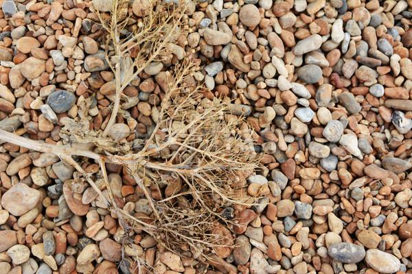Dead sea kale on a shingle beach Stock photo © sarahdoow
