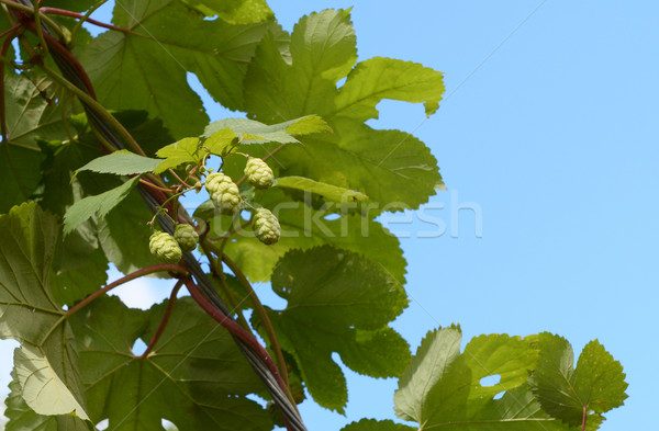Hops growing on a leafy vine Stock photo © sarahdoow