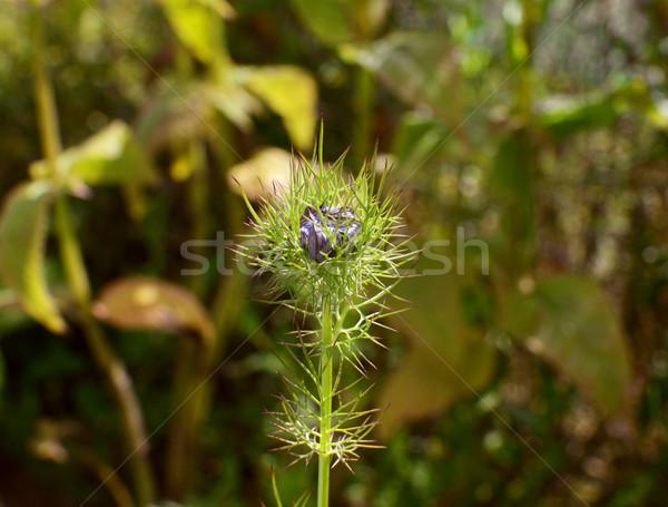 Szeretet köd virág rügy kék bent Stock fotó © sarahdoow