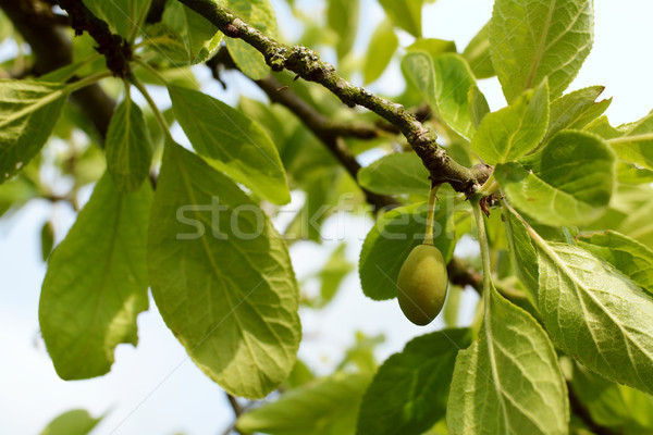 Yeşil erik ağaç asılı şube meyve ağacı Stok fotoğraf © sarahdoow