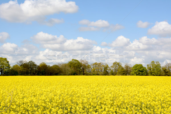 Field of bright yellow oilseed rape Stock photo © sarahdoow