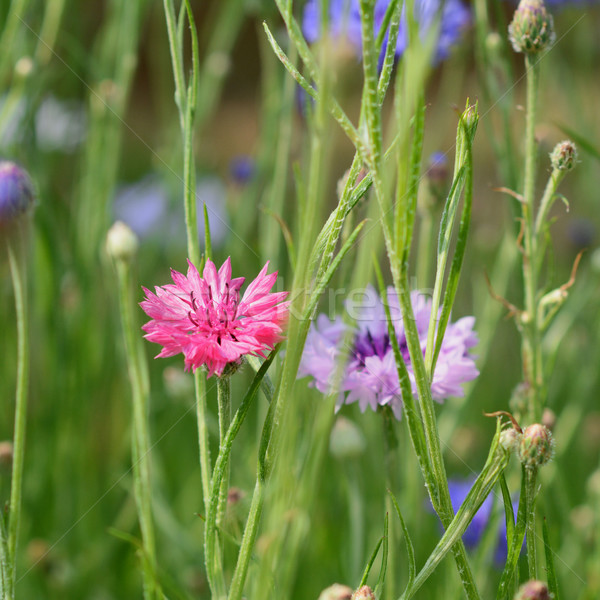 Bright pink cornflower among other flowers Stock photo © sarahdoow