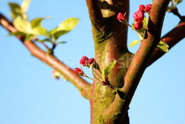 Foto stock: Cangrejo · manzana · flor · luz · del · sol · primavera · azul