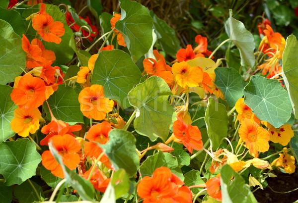 Malutki pływające powyżej pomarańczowy obfity kwiaty Zdjęcia stock © sarahdoow
