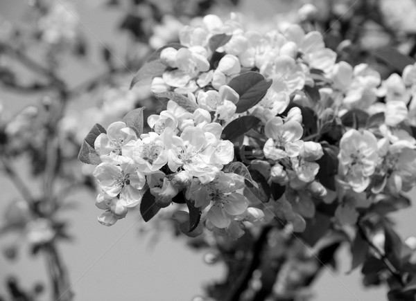 Stock photo: Close-up of a cluster of crab apple blossom