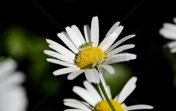Common green capsid on a daisy  Stock photo © sarahdoow