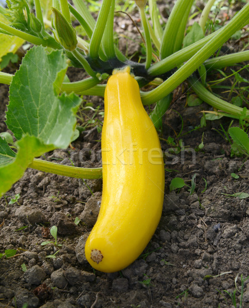 Yellow summer squash growing on a bush plant Stock photo © sarahdoow