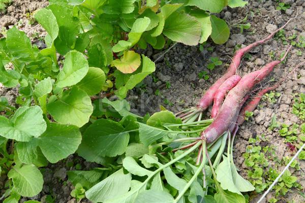 Freshly harvested long radishes Stock photo © sarahdoow