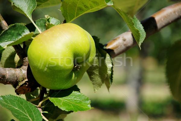 Stock fotó: Főzés · alma · ág · angol · gyümölcsös · fa