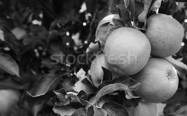 Groep rijp appels boom klaar oogst Stockfoto © sarahdoow