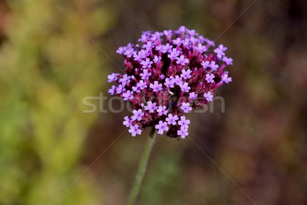 Small purple verbena flowers Stock photo © sarahdoow