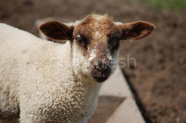 Jóvenes cordero marrón orejas nariz primavera Foto stock © sarahdoow
