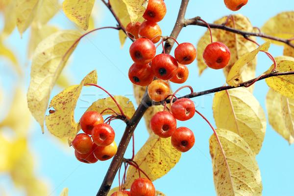 Red crab apples among yellow autumn foliage Stock photo © sarahdoow
