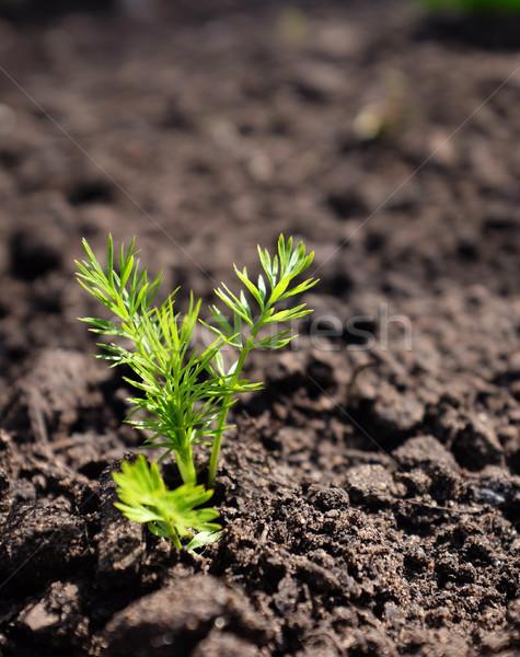 Photo stock: Semis · croissant · sol · vert · printemps · terre