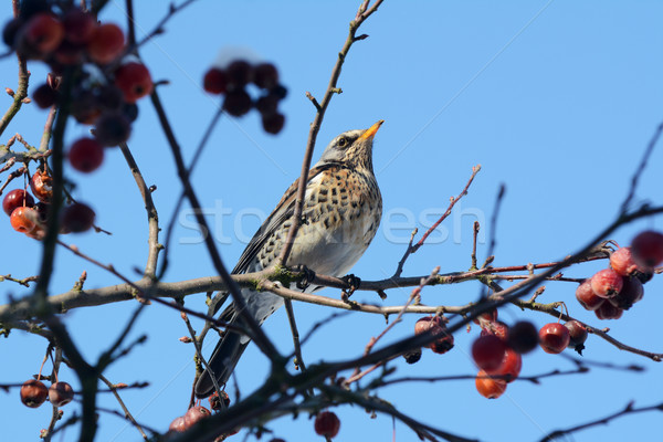 Fieldfare perching on branch of crabapple tree in bright sunligh Stock photo © sarahdoow