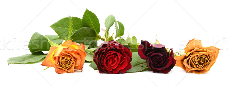 Row of four fading rose blooms Stock photo © sarahdoow