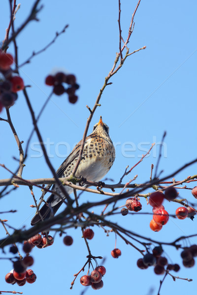 Fieldfare perching high in a crab apple tree Stock photo © sarahdoow