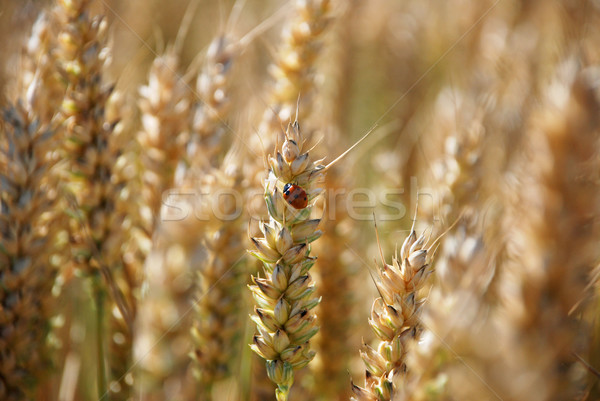 Ladybird or ladybug on a stalk of wheat Stock photo © sarahdoow