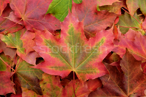 Rosso verde foglia d'acero caduta fogliame Foto d'archivio © sarahdoow